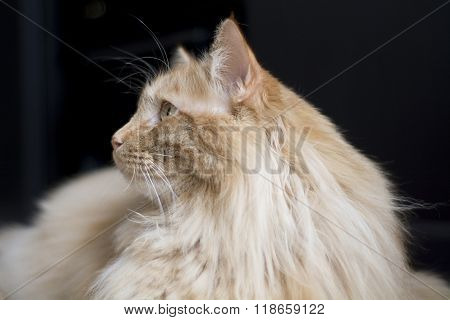 maine coon cat looking off to side