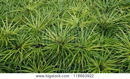 Miagos Bush with scientific name Osmoxylon lineare, popular garden bush