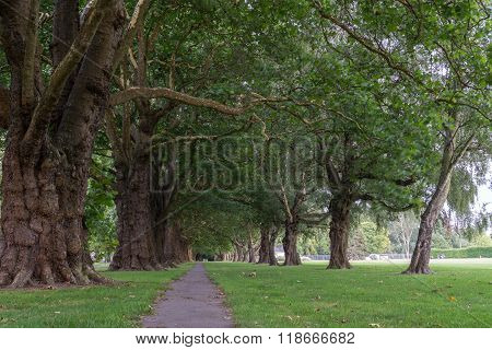 Rows Of Trees In Hagley Park