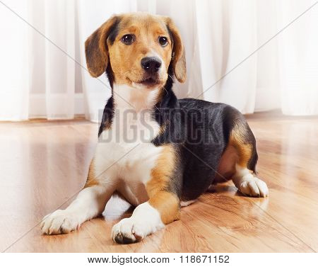 Cute Beagle Puppy At Home.