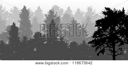 illustration with black pine in grey forest