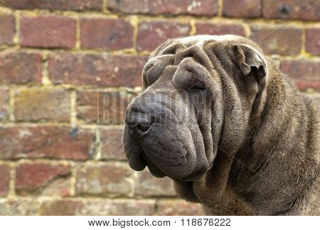Shar Pei, Autralian Shepherd In A Meadow