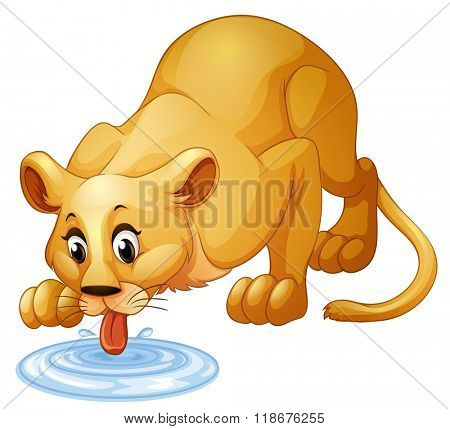 Lion drinking water from puddle illustration