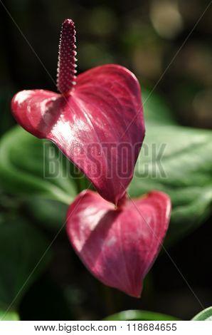 Purple Flamingo Lily (anthurium Andreanum) Flower