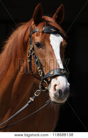 Amazing Chestnut Thoroughbred Isolated On Black Background