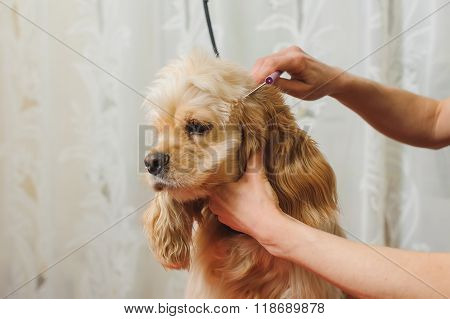 Groomer Prepares Dog For Grooming