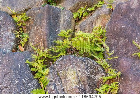 Fern In Stone Wall