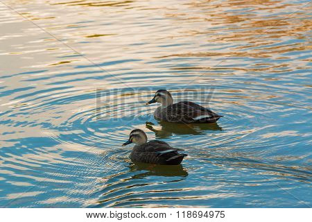 Ducks Couple Swimming In The River.