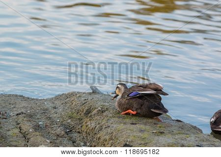 Duck sit on riverbank in park. in evening time