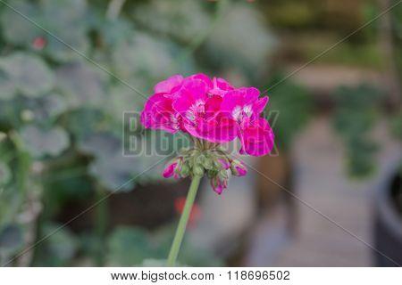 Beautiful Impatiens Walleriana Flower.