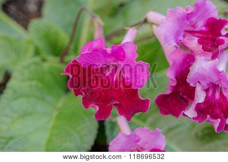 Streptocarpus Pink Flower.