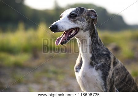 whippet portrait on nature background