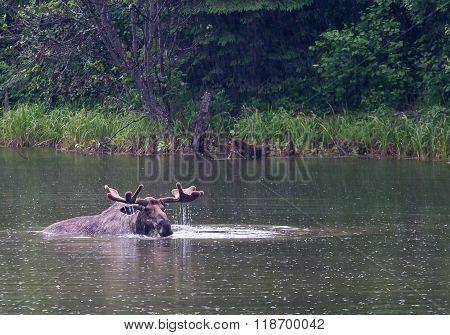 Chena Bull Moose