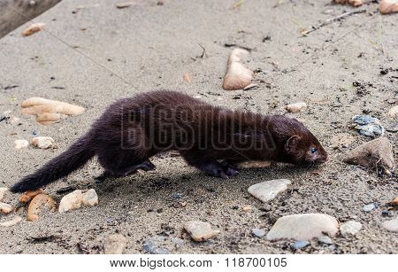 Mink On The Sand