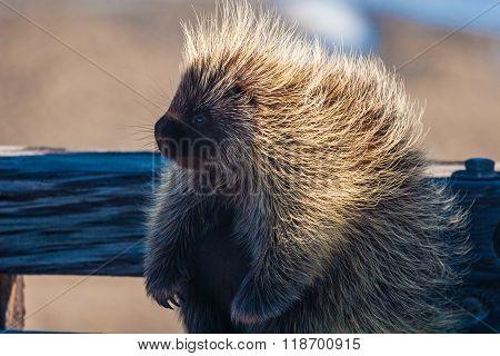 Sunlit Spiky Porcupine