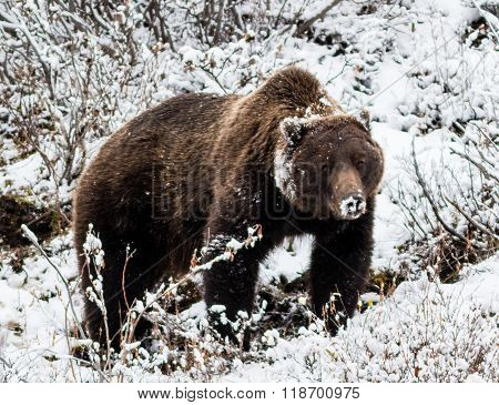 Big Male Grizzly Bear