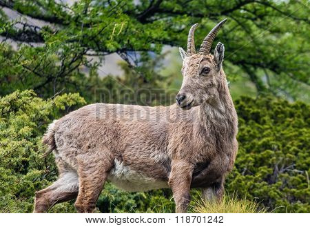 Baby Ibex In A Larch Tree