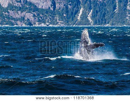 Humpback Breaching In Alaska