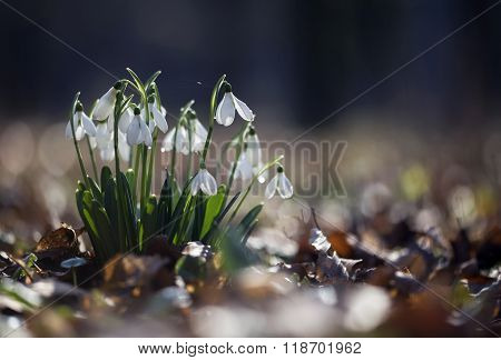 Beautiful Fresh Snowdrops
