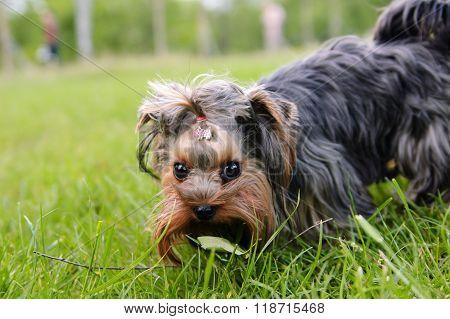 Portrait of little Yorkshire terrier