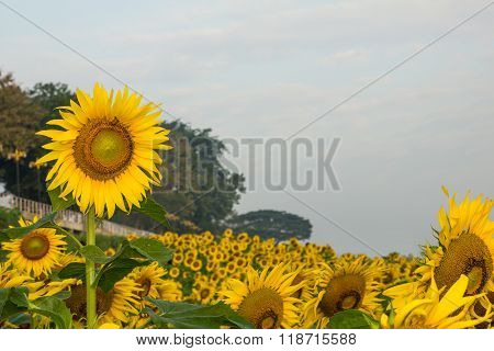 Sunflower And Bee In Happiness. Garden In Nakhon Phanom, Thailand.