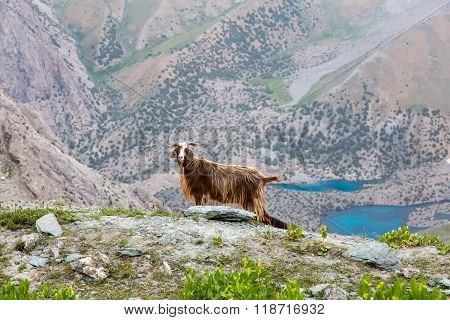 Mountain lands and male sheep with long wool