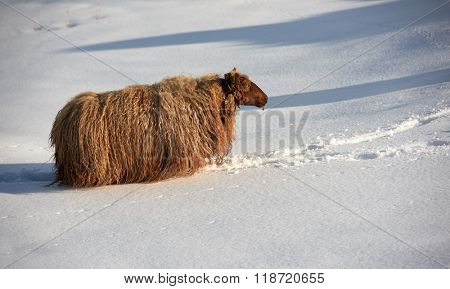 Icelandic sheep with thick fluffy wool walking through thick snow, they are well insulated for cold winter conditions