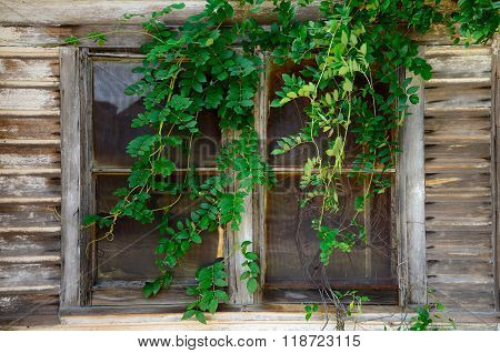 Old Window and Vine