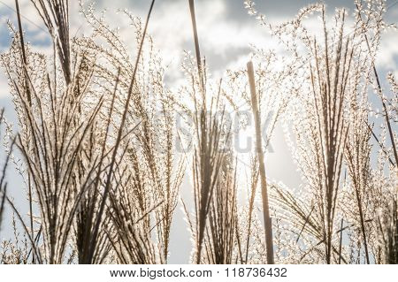 Dry Grass Texture With Grey Sky And White Clouds. Winter Background With Sedge Dry Grass, Grey Froze