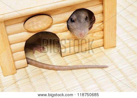 Rat looks out of the house windows, horizontal photo.