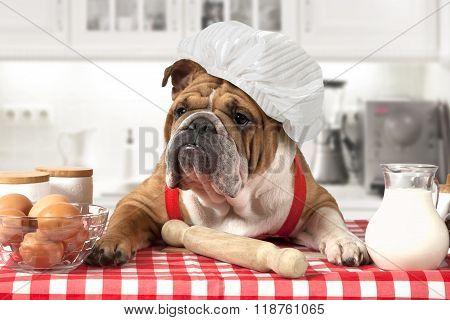 English Bulldog In Chef's Hat