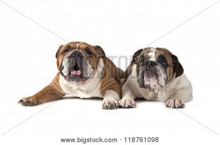 Two English Bulldog Lying On White Background