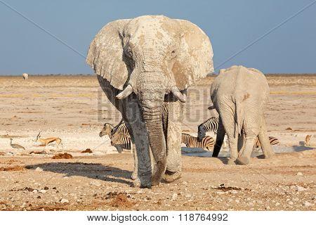 Large African elephant (Loxodonta africana) bull covered in mud, Etosha National Park, Namibia