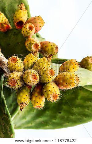 Cactus pear (Opuntia ficus-indica)