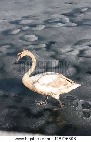 Swan on lake Zell in Zell Am See, Austria