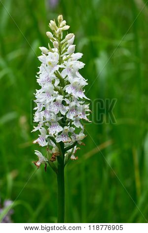 White common spotted orchid (Dactylorhiza fuchsii)