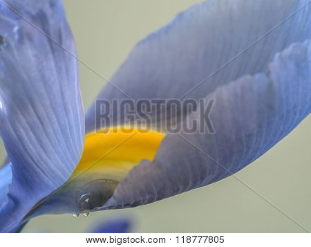 Bloe Iris Flower