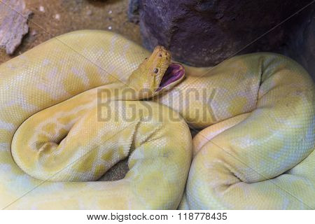 Gold Or Yellow Python