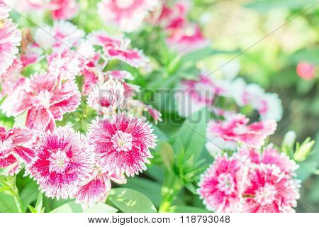 Beautiful Flowers Chinese Pink (Dianthus chinensis Linn.)