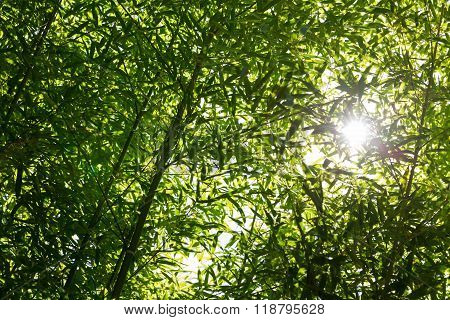 Backlit Bamboo Background