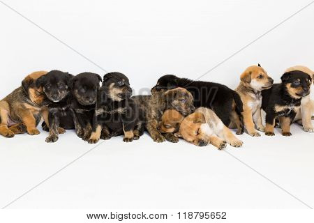 Eleven Shepherd Mix Puppies In A Row