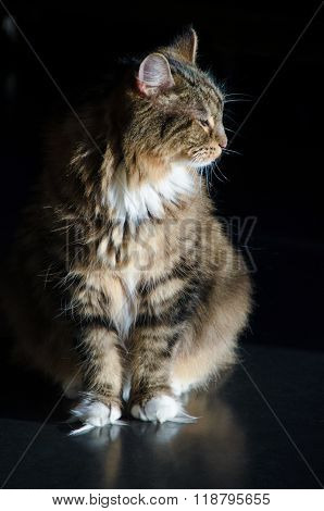 Male Calico Cat In Profile In The Sun