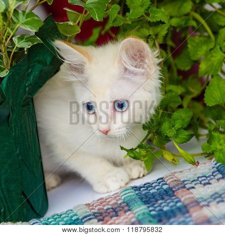 Shy White Kitten