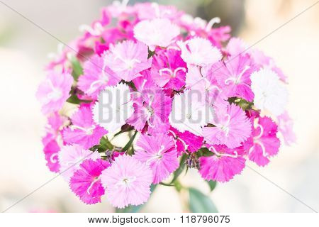Chinese Pink(dianthus Chinensis Linn.)