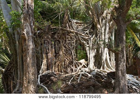 Network branches trunk ficus banyan on Ross Island, India.