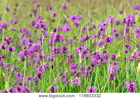 Betony (Betonica officinalis) growing in a meadow