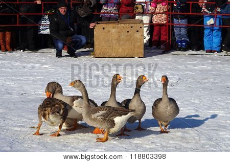 Suzdal, Russia - February 21, 2015: Goose Fights On Shrovetide - The Celebration And Folk Festival,