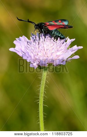 Six-spot burnet (Zygaena filipendulae) on field scabious (Knautia arvensis)