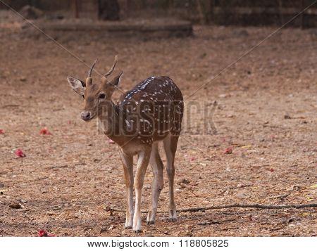 Spotted Deer 2