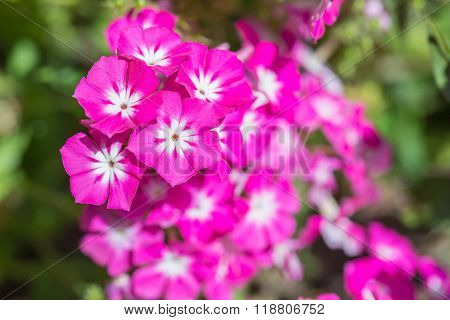 Pink Annual Phlox Flower